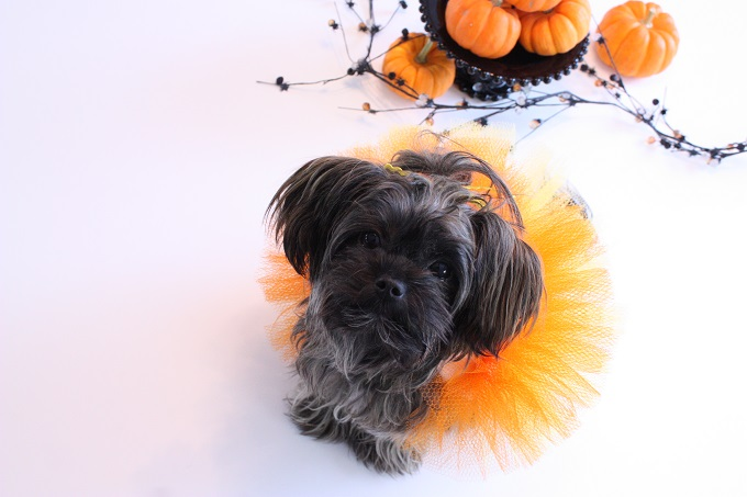 5-Halloween-Pet-Costume-Candy-Corn-Kim-Byers-6870